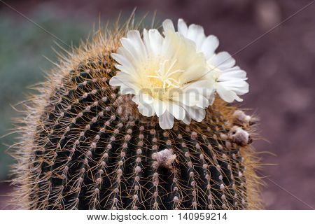 on the big cactus with yellow prickles blossom white beautiful flowers a few pieces