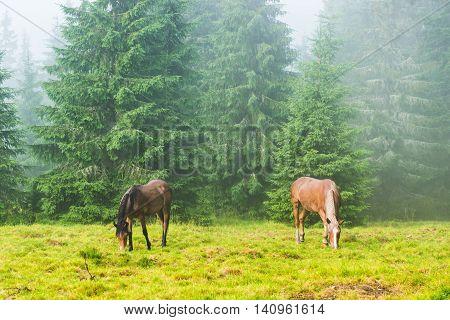 Two Wild Running Horses Grazing