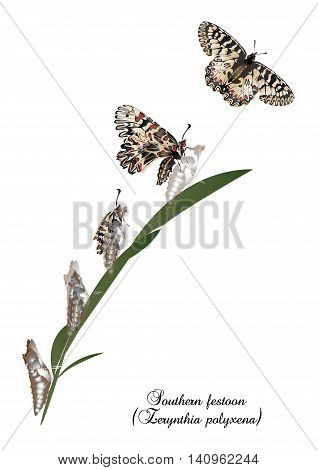 It is illustration of Life cycle of southern festoon butterfly.