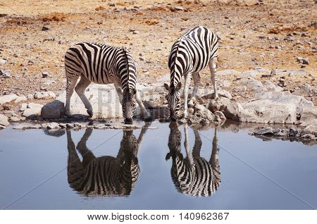 Two zebras drinking water in a waterhole in the Etosha National Park Namibia
