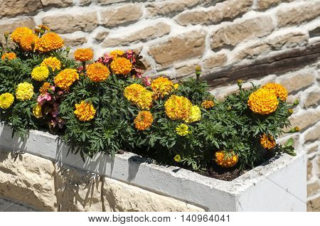 Yellow French Marigold Flower in large flowerpot