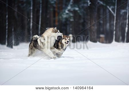 Two Dogs Breed Alaskan Malamute Walking In Winter