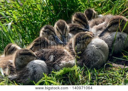 Canvasback ducklings diamond lake oregon 10 fuzzy little ducks