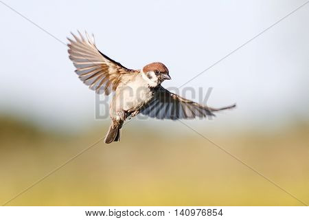 little bird Sparrow flutters in the sky in the summer