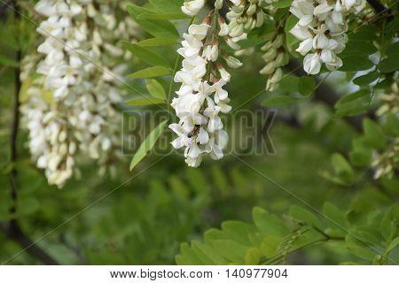 Flowering Acacia White Grapes