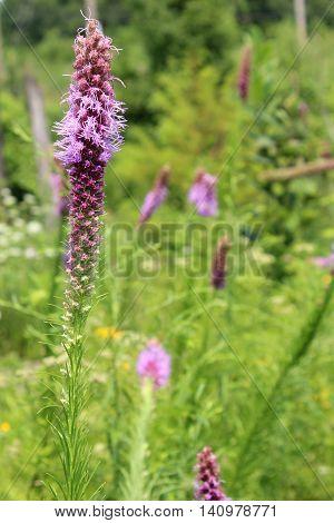 The native midwest USA wildflower Prairie Blazing Star Liatris pycnostachya grows in a Missouri field.