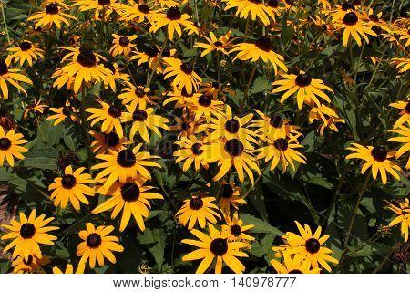 Yellow Black-Eyed Susan wildflowers background image on sunny day.