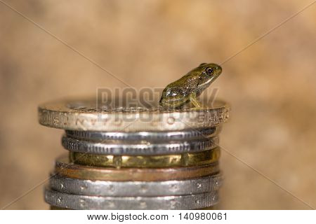 Common frog (Rana temporaria) froglet on stack of coins. Tiny baby frog with coins to show small size approximately 8mm long shortly after leaving water