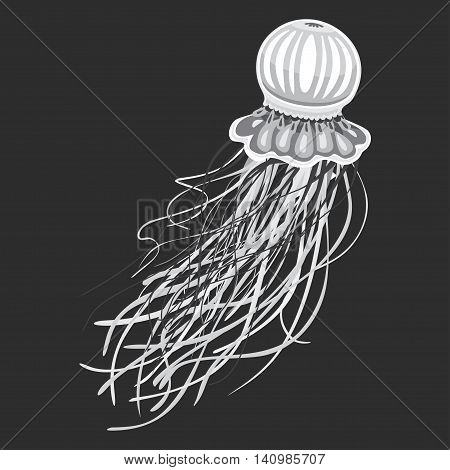 Spineless stripping blubber or jellies, medusa or jellyfish with pulsating bell and stinging tentacles. Wild predator non-polyp animal, hydrozoa or scyphozoa. May be used for tattoo or mascot theme