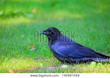 Big black raven sitting on the green grass in summer day