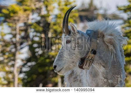 Adult Mountain Goat Wearing Research Collar turned to the left