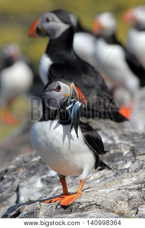 An Atlantic Puffin with sand eels in its mouth
