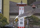 Seagull Flight In An Asian Town poster