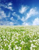 Field with fluffy dandelions and blue sky poster