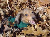 Cagne Enjoying Fall Leaves