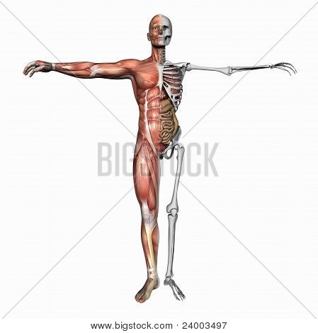 Anatomy, Muscles And Skeleton