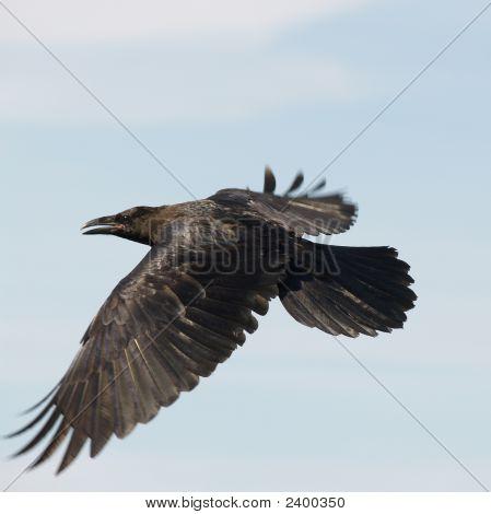 Vuelo de cuervo negro