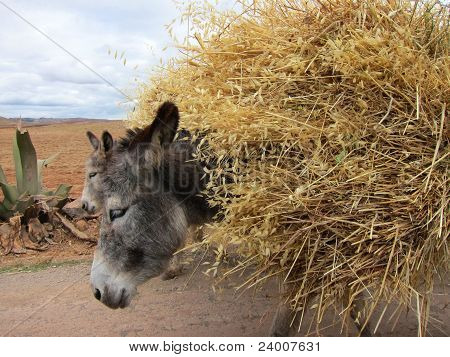 Domestic donkeys in rural setting