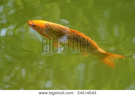 Decorative carp or koi