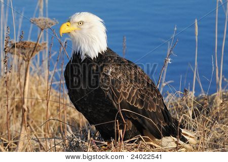 Bald Eagle grounded