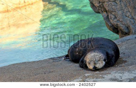 Sleepy Baby Otter