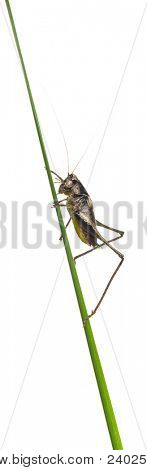 Male Shield-back Katydid, Platycleis tessellata, on plant in front of white background