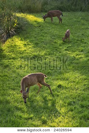 Deer Grazing at Dusk