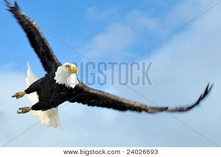 Bald Eagle Swoop