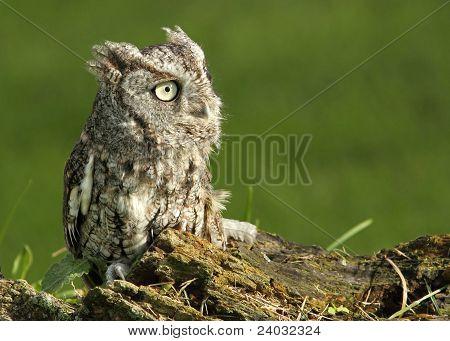 Profile of an Eastern Screech Owl