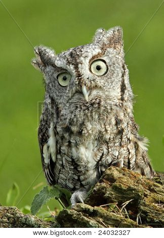 Cute Little Screech Owl
