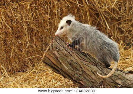 A Little Opossum climbing a log