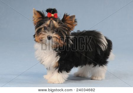 Cute Little Puppy On Blue Background