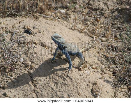 Blue Lizard Agama In Steppe