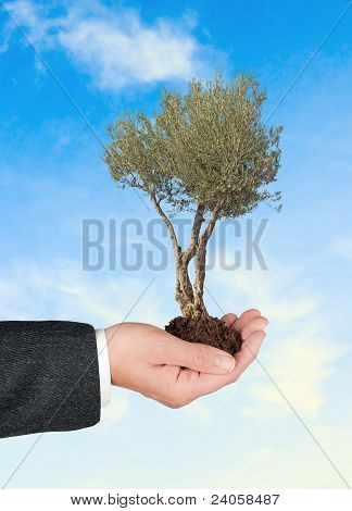 Olive Tree In Hand As A Gift Of Agriculture