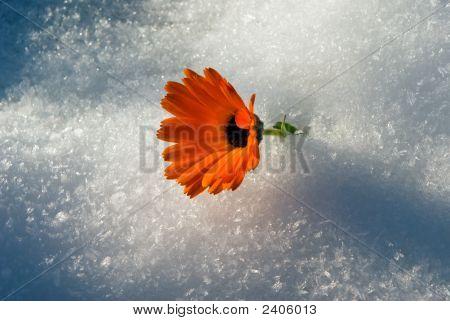 Flower Under Snow