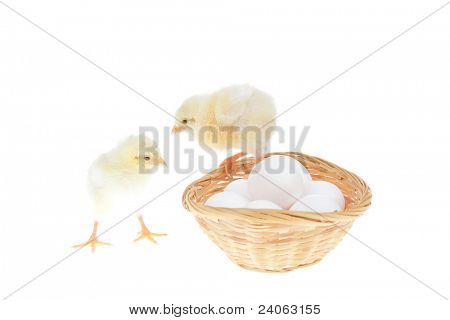 tender live little baby chicken on white eggs inside wicked basket isolated over white background