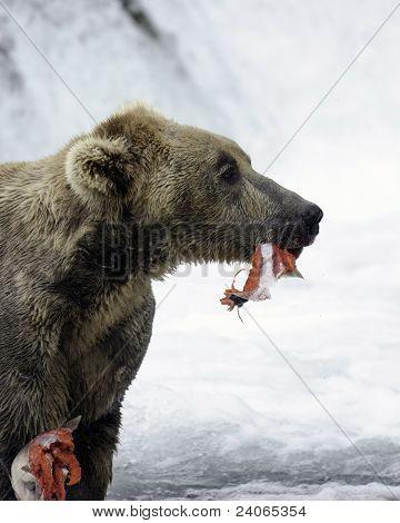 Oso Pardo de Alaska alimentándose de un salmón