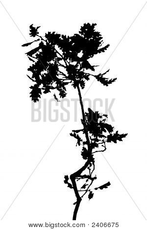 Silhouette Of Tree Branch Over White