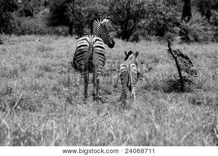 zebra and smal zebra