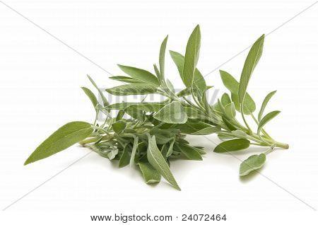 Sage Herb