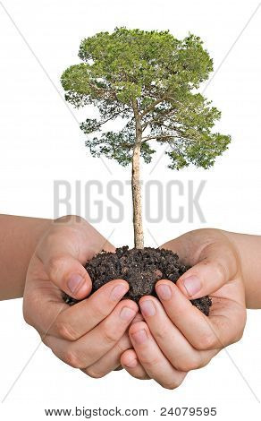 Pine Tree In Hands