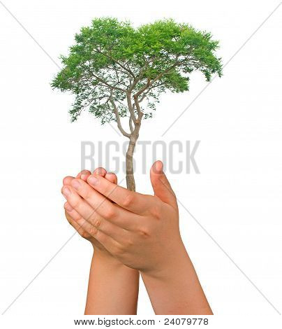 Tree In Palms As A Symbol Of Nature Protection