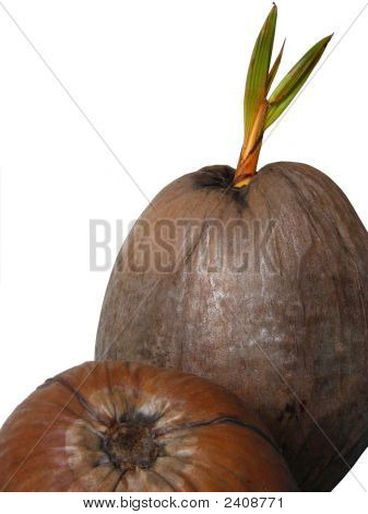 A Coconut Sprout
