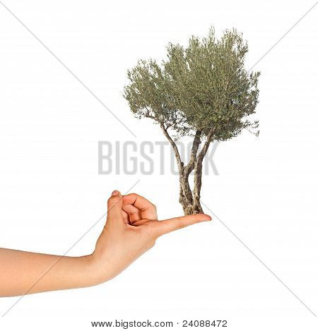 Olive Tree On Finger