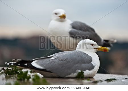 couple of seagulls