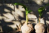Fresh Palm Tree Sapling In Old Coconut. Coco Nut Seed. Tropical Coco Palm Growing From Seed. Exotic  poster