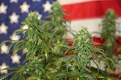 Marijuana Research. Marijuana Research Chemist checks his Female Flowering Marijuana Plant in Americ poster