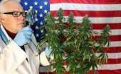 Marijuana Doctor.   Doctor Sativa poses with his favorite strain of Marijuana Plant with an American poster