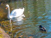 White Swan And Drake On A Reservoir. Quiet Provincial Municipal Park. poster