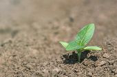 Green Soybean Plant On The Field In Spring. Young Soy Plant. poster